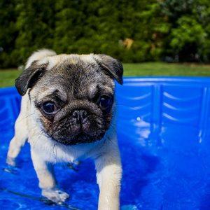 Pourquoi acheter une piscine pour votre chien?